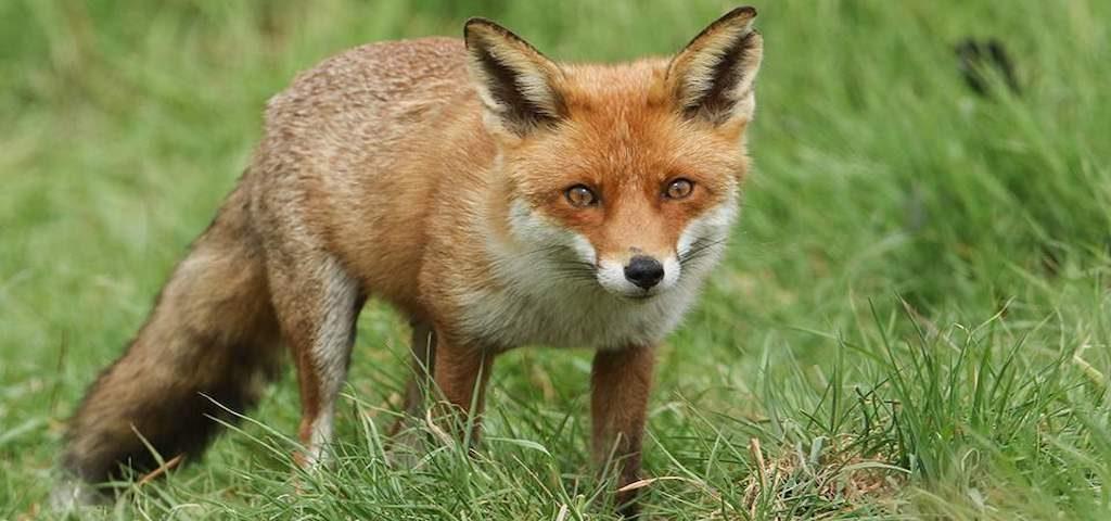 Νεκρή από πυροβολισμό η αλεπού στο Ν.Ικόνιο Περάματος (photos)