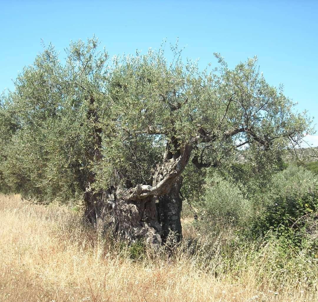 Κάηκε Ελιά 3.300 ετών από την φωτιά, στην Λακωνία!