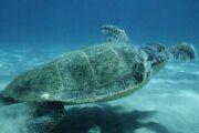 Νεκρή χελώνα καρέτα - καρέτα στη Σαλαμίνα